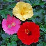 Hibiscus-Blüten