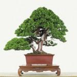 Podocarpus Costalis in Bonsai-Form