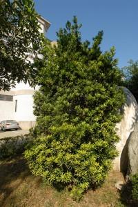 Podocarpus Costalis in freier Natur (Foto: Li Chieh Pan)