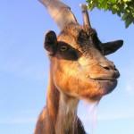 freche ziege 150x150 Ausblick auf 2012: Das Jahr des Wasserdrachen