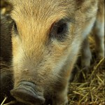 Junges Wildschwein (Foto: ufoncz)