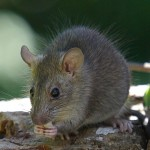 Listige Ratte (Foto: Paul Hocksenar)