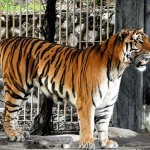 Stattlicher Tiger (Foto: Eustaquio Santimano)