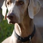 Weimaraner Hund (Foto: PYHOOYA)