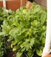 salat in der dachrinne anpflanzen. Black Bedroom Furniture Sets. Home Design Ideas