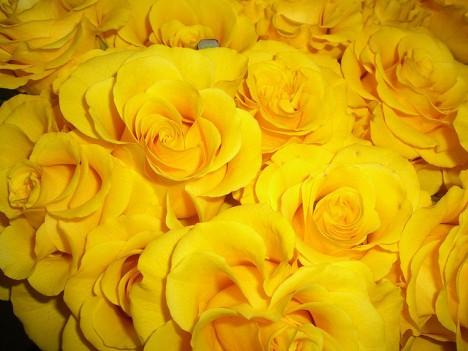 Gelbe Rosen: An ihnen haftet immer ein wenig der Makel der verlorenen Unschuld