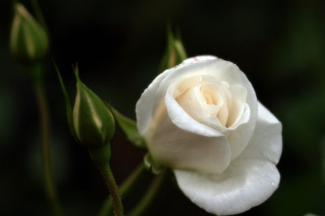 Weiße Rosen gelten als geheimnisvoll. Sie stehen für Reinheit, Unschuld, aber auch für Abschied und Tod.