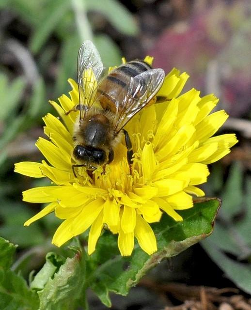Apis Mellifera, lat. für Honigbiene