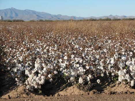 Ohne künstliche Bewässerung würde auf dieser Baumwollplantage nichts wachsen