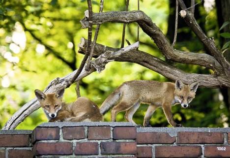 Rotfuchs-Welpen auf einer Mauer in Berlin