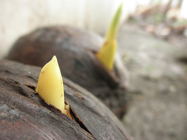 Zart, aber zielstrebig: Kokosnuss-Keimlinge, Foto: thienzieyung