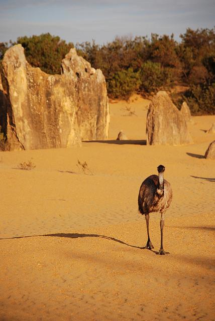 Ein Emu aus Wanderschaft