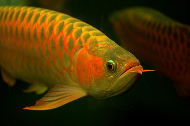Reinkarnation der mythischen Drachen: Der Arowana Fisch