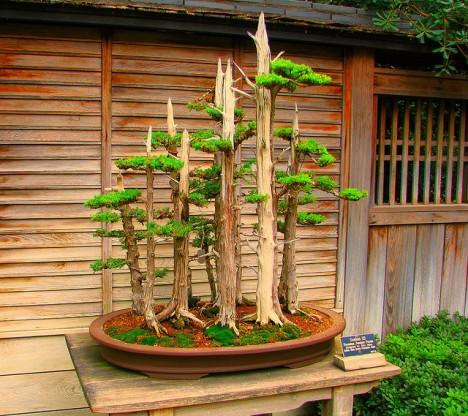 Bonsai in vollkommener Zen-Ästhetik