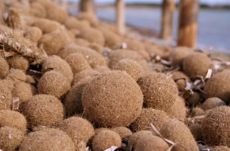 Seebälle, wie sie besonders im Frühjahr oder Herbst massenhaft an den Stränden des Seebälle, wie sie besonders im Frühjahr oder Herbst massenhaft an den Stränden des Mittelmeeres zu finden sind, gelten als hervorragender natürlicher Dämmstoff