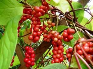Schizandra-Beeren