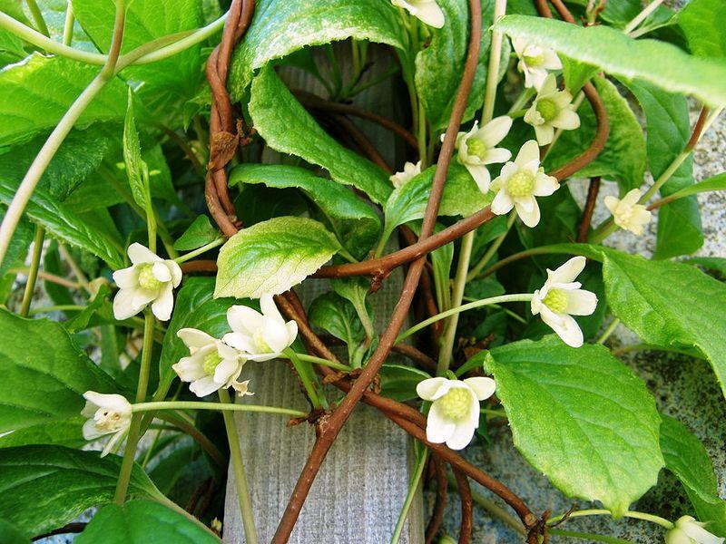 Schizandra - eine lianenartige Heilpflanze, der besondere Kräfte nachgesagt werden