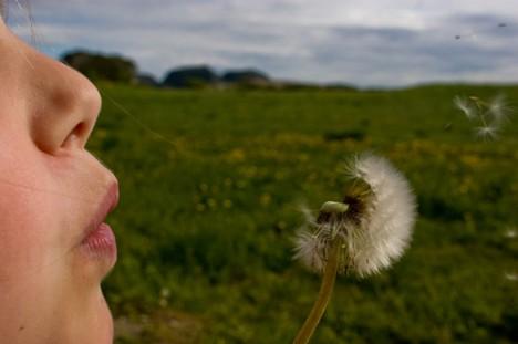 Die Samen einer Pusteblume lassen los, um an einem anderen Ort etwas Neues anzufangen