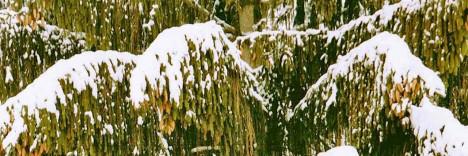 Immergrüne Nadelbäume sind typische Winterpflanzen laut Europäischem Fengshui. Foto (C) Irmgard Brottrager