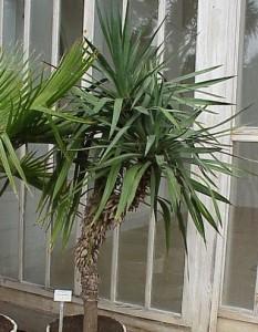 feng shui-Yucca_aloifolia