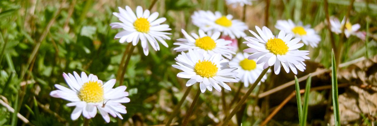 Herzig, anmutig und lieb: das Gänseblümchen, Foto (C) Irmgard Brottrager