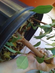 Die Pflanze vorsichtig aus dem alten Topf lösen