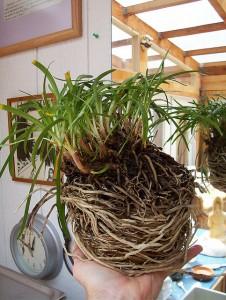 Wurzeln überall: Diese Pflanze hätte schon längst umgetopft werden müssen