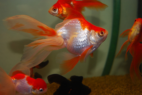 Feng shui und die fische for Fische goldfische