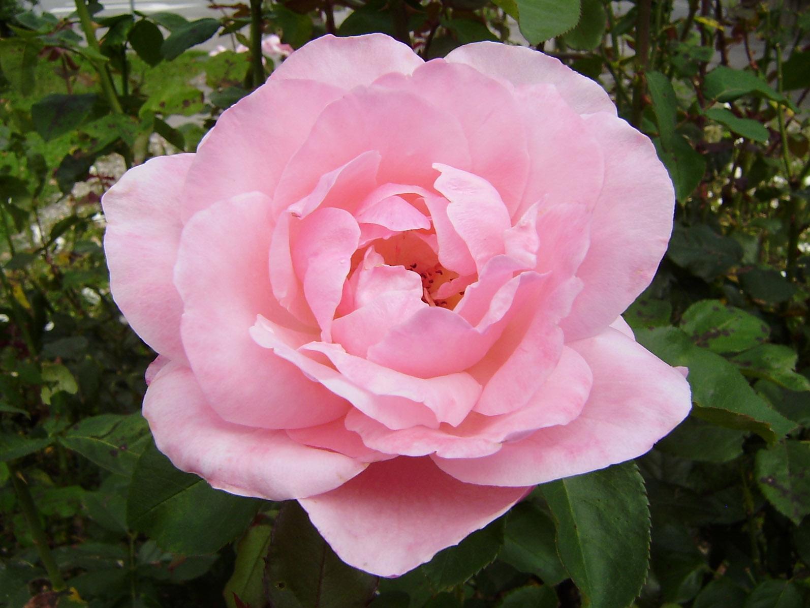 Die rosa Rose ist ein Symbol für die junge Liebe. Foto (C) Irmgard Brottrager