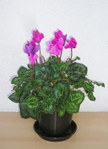Das Alpenveilchen als Topfpflanze