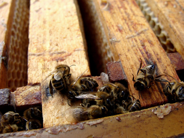 Elektrosmog als Ursache des Bienensterbens?