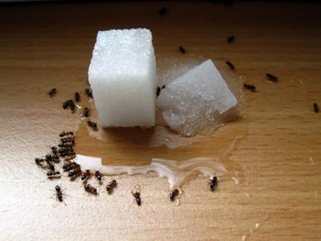 Ameisen lassen sich mit einfachen Hausmitteln aus dem Haushalt fernhalten