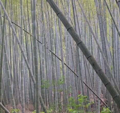 Natürlicher Bambuswald in China
