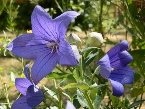 Glockenblumen im Guerilla-Garten, Foto (C) Irmgard Brottrager