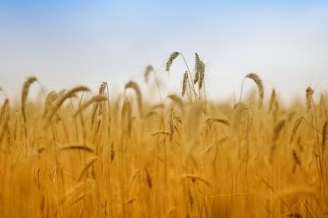 Reife Felder sind ein Sinnbild des Spätsommers. Foto: istockphoto / jean-gill