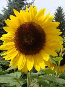 Eine Sonnenblume als Symbol der fünften Jahreszeit. Foto: Hedwig Seipel