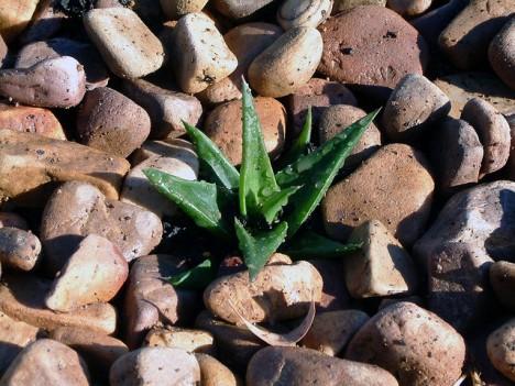 Aloe im Steingarten: Es gibt kaum treffendere Symbole für die wirkenden Kräfte von Yin & Yang