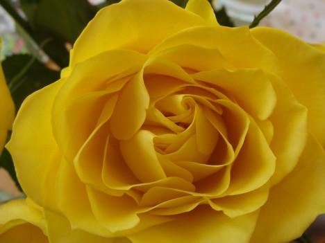 Rosendüfte sind blumig, sinnlich und süßlich. Damit verbinden sie die Eigenschaften des Feuers und der Erde. Foto: Hedwig Seipel