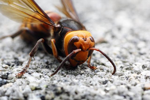 42 Chinesen sterben nach Hornissenangriff