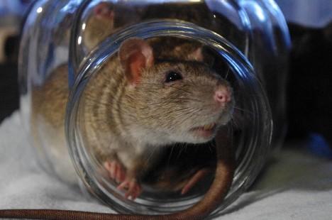 Berliner Forscher fanden heraus, dass Ratten in Charité-Nähe häufiger multiresistente Keime trugen als andere Ratten