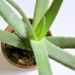 aloe vera als heilpflanze und ihre wirkung auf gesundheit wohlbefinden. Black Bedroom Furniture Sets. Home Design Ideas