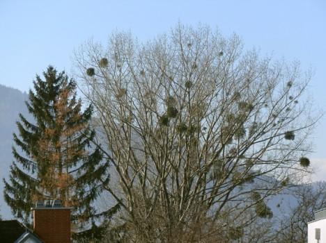 Mistel-Baum, Foto (C) Irmgard Brottrager