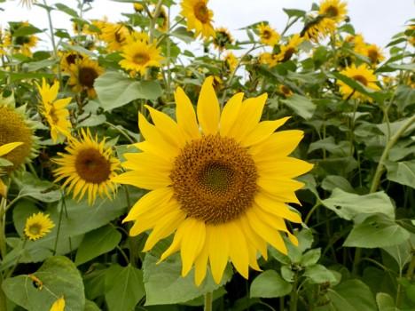 Die Sonnenblume hat eine erhellende Ausstrahlung, sie erinnert an eine Sonne und besitzt eine sehr zentrierte Form. Foto (C) Irmgard Brottrager