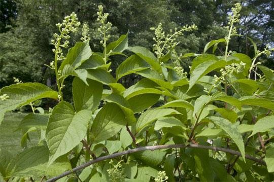 Chinesische Heilpflanze Lei Gong Teng: Wirksamer als ein synthetisches Rheuma-Medikament