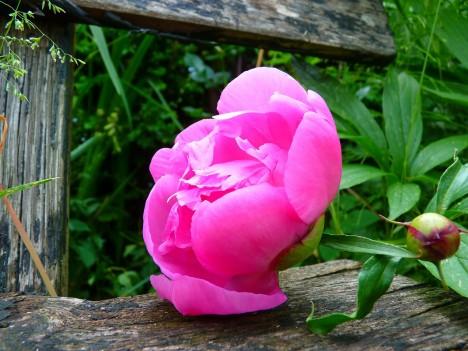 Die Pfingstrose - hre Schönheit wird in China und Europa gleichermaßen bewundert. Foto: CC-0 via http://pixabay.com/en/peony-flower-pink-spring-7641/