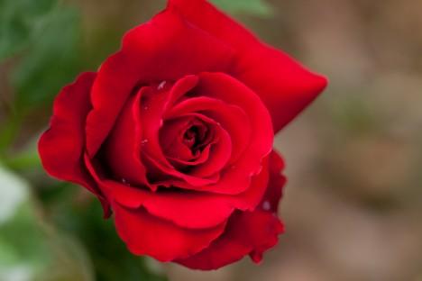 Sie ist die Königin unter den Blumen: die Rose