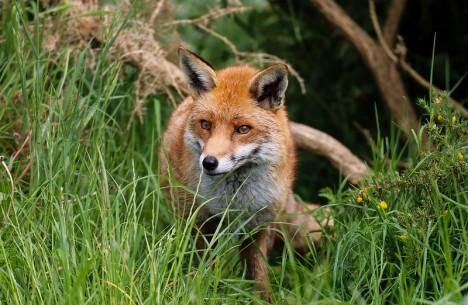 Rotfuchs im Wald: Aus Angst vor dem Fuchsbandwurm meiden viele Menschen Waldbeeren