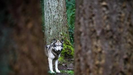 Wolfsbegegnung im Wald - für viele Menschen eine Horrorvorstellung