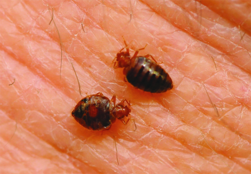 Tick Vs Flea Vs Bed Bug
