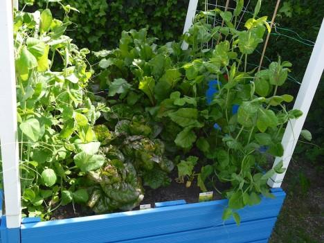 Multikulti im Gemüsebeet. So klappt es auch mit dem Nachbar ;-) Foto: © Hedwig Seipel
